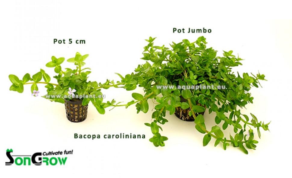 60 + J60  Bacopa caroliniana Pot Jumbo vergelijking.jpg