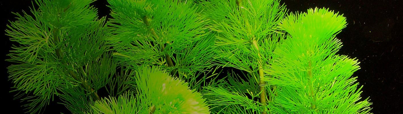 Cabomba caroliniana1400x400 overlay.jpg