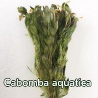 cabomba aquatica 1-1.jpg