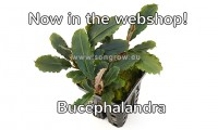 76 bucephalandra deep purple.jpg