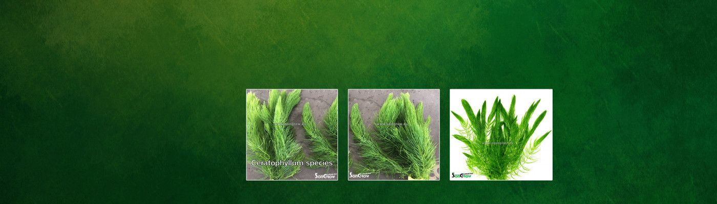 homepage ceratophyllum 291.jpg